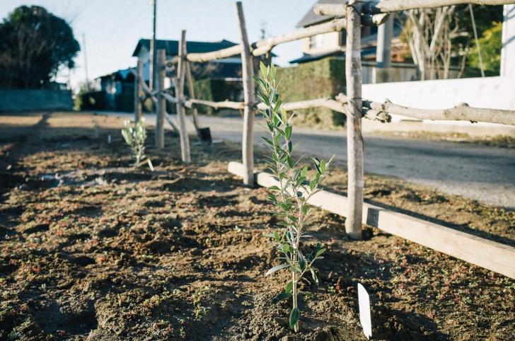 オリーブ植えた