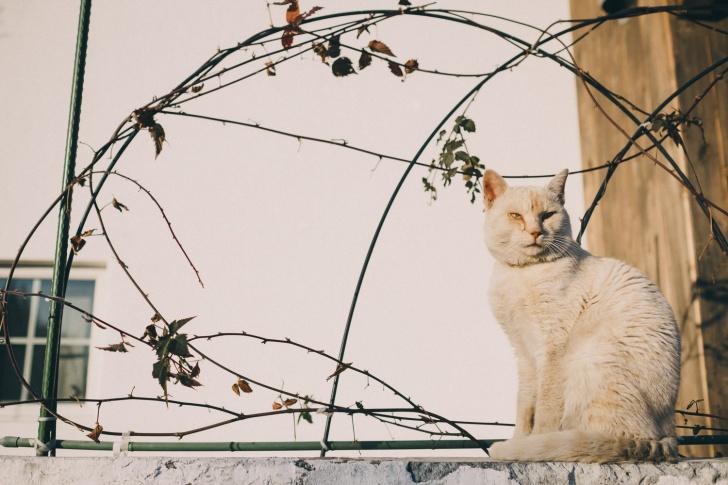 白猫のシマ