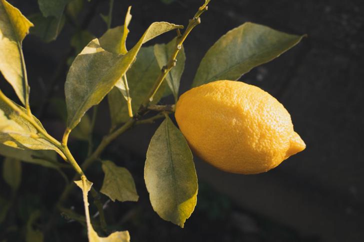 ついにレモン収穫の時がきた