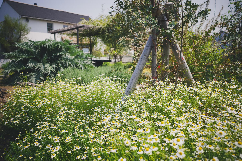 カモミール収穫。アブラムシをコツコツ除去してドライカモミールに